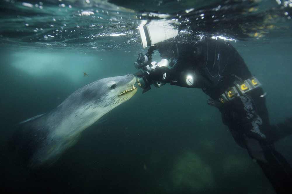 Image: Nat Geo Photographer Paul Nicklen in water with giant leopard seal