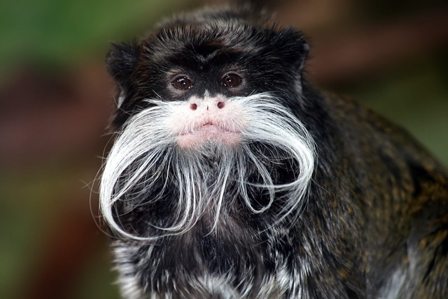 Image: Emperor Tamarin Monkey
