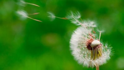 Image: Dandelion tufts blowing in the wind