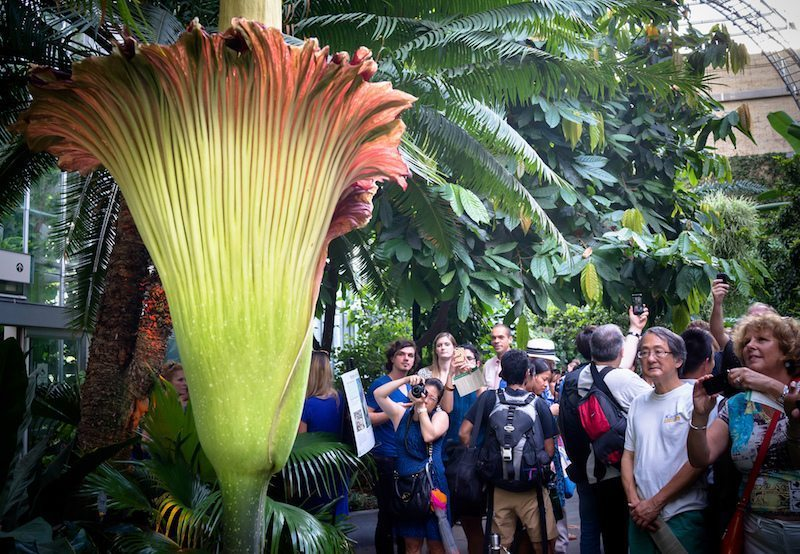 Image: people gathered around the world's stinkiest flower