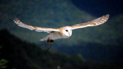 Image: Barn Owl in Flight
