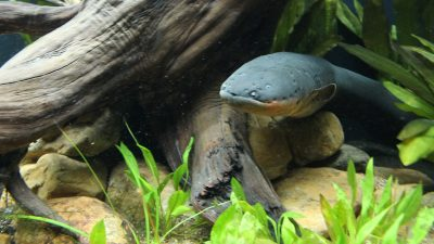 Image: Electric eel in a beautiful aquarium habitat