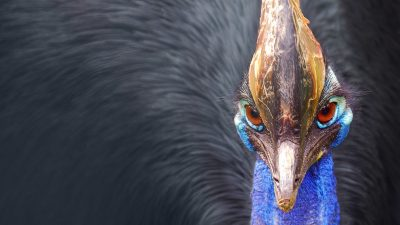 Image: Close-up of a cassowary's face