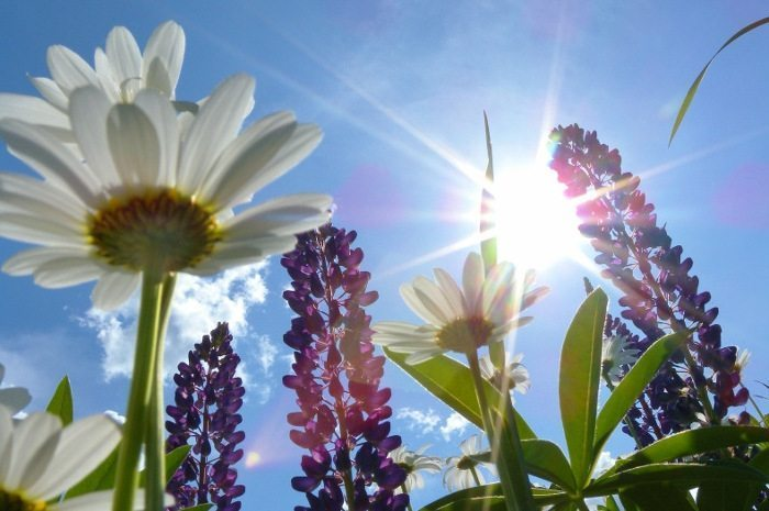 Image: Sparkling sunlight through lupin flowers