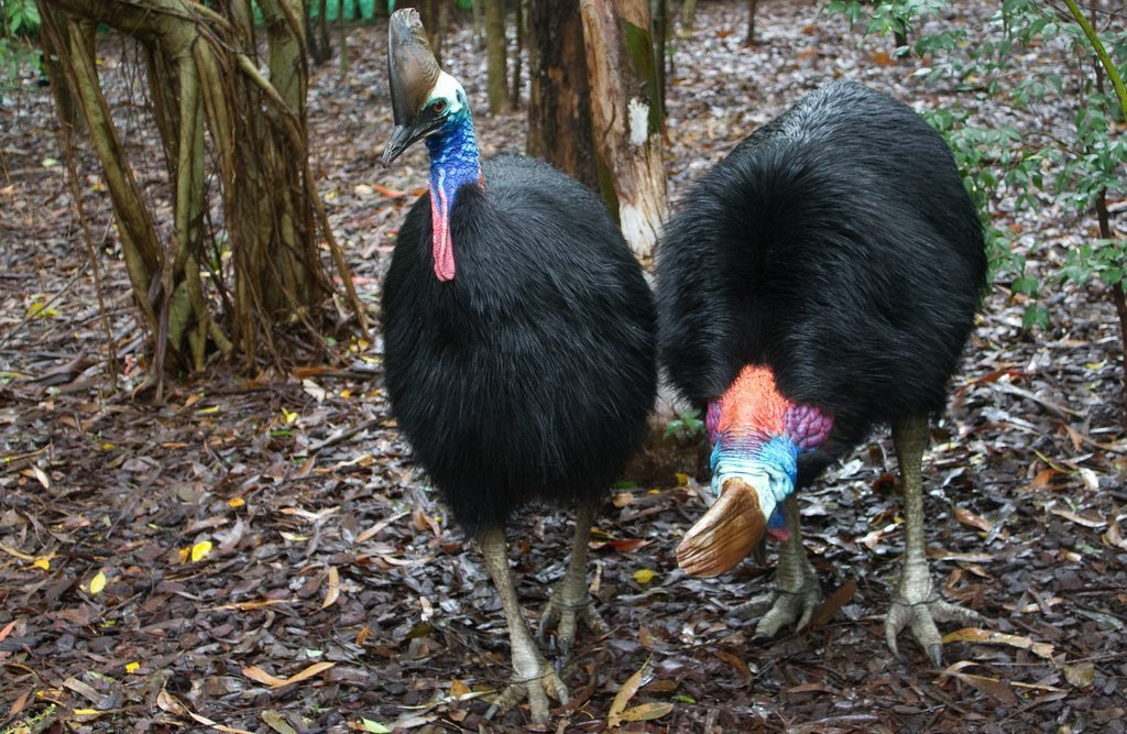 Image: Two Cassowary birds with huge bodies and brightly colored heads