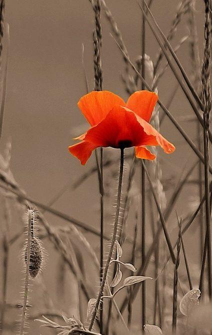 Image: Poppy in dry weeds