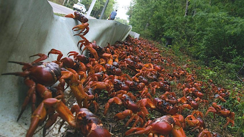 Image: Millions of crabs trying to cross the road during the Christmas Island red crab migration