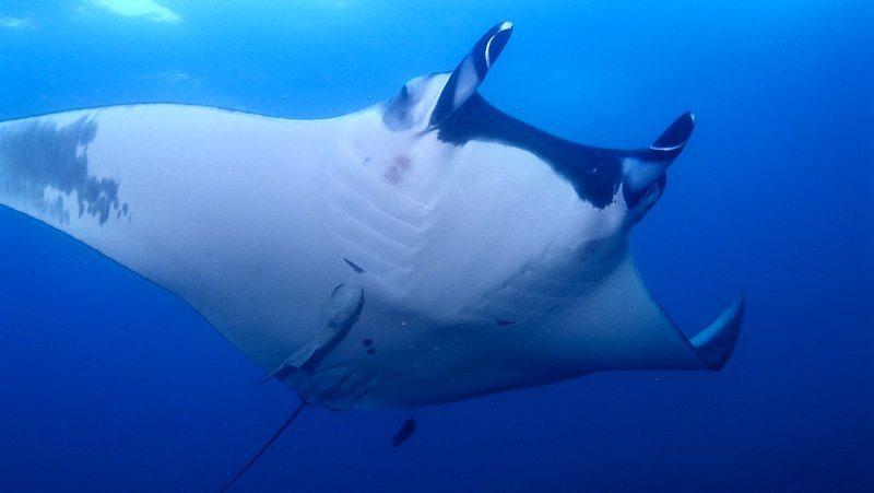 Image: Giant manta ray swimming through the ocean
