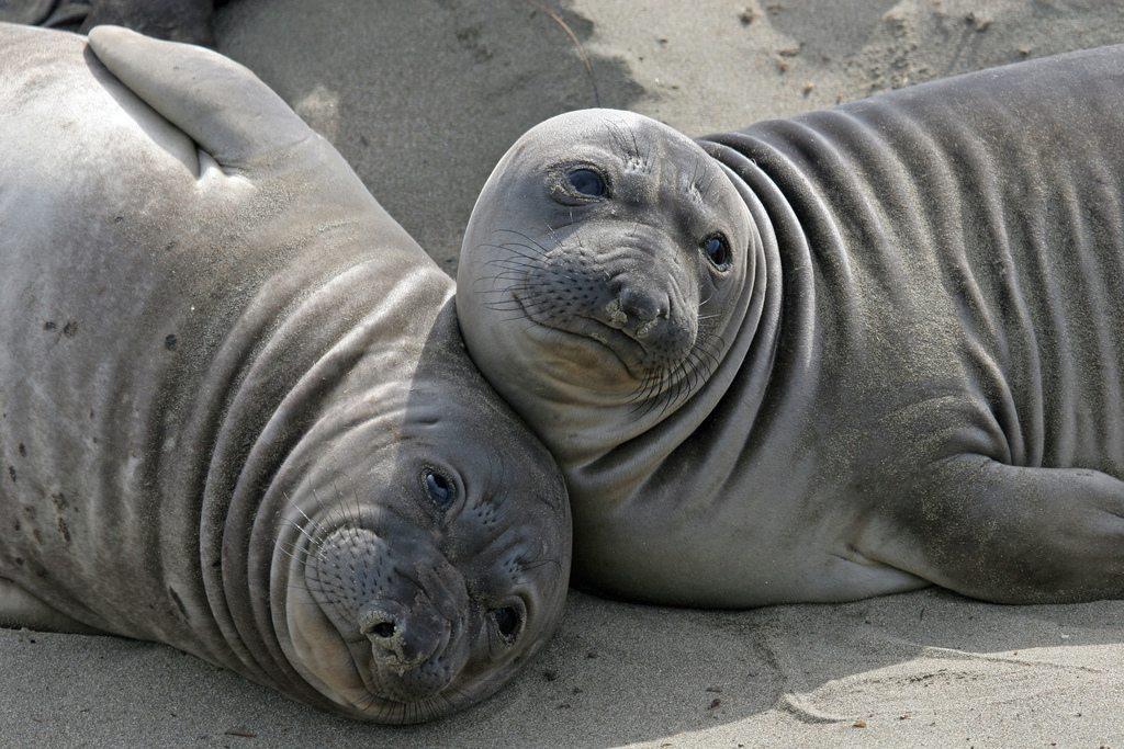 Image: Female Elephant seals avoiding mother nature's beach master