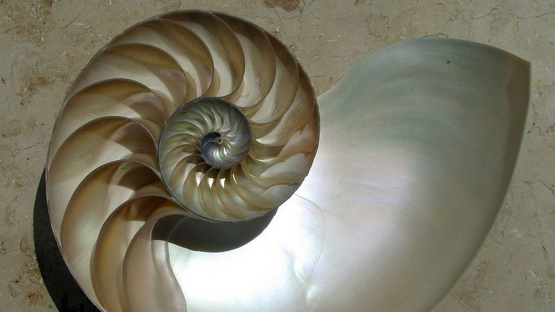 Image: Fibonacci Sequence explains nature's spiral nautilus shells