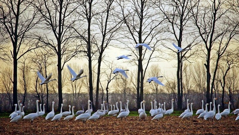 Image: Swans taking off into the evening light. Similar to living for the day, advice from 100-year-olds.