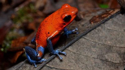 Image: Tiny red frog with bright blue legs (poison dart frogs)