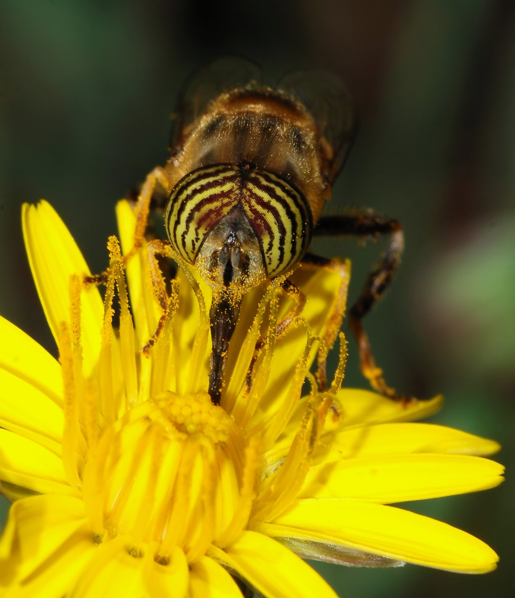 Image: Syrphid Fly pollinating a flower