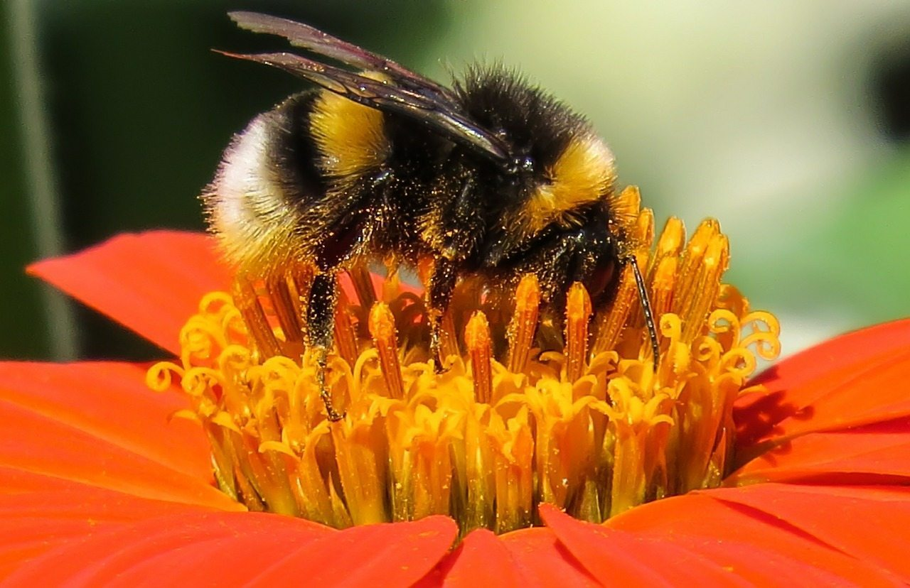 Image: A bumble bee covered with pollen