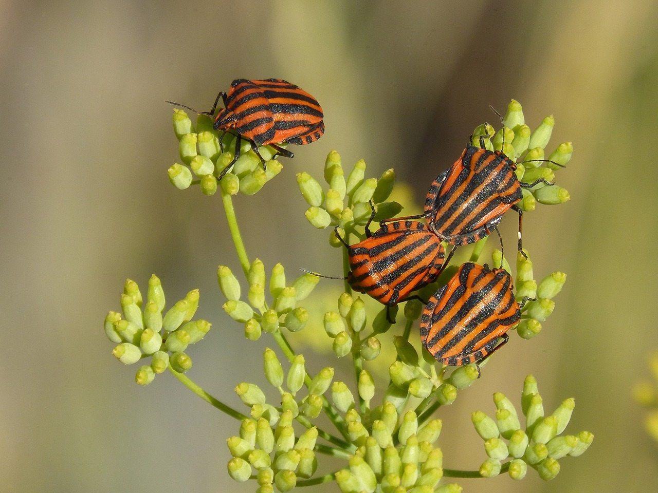 Image: Beetles pollinating