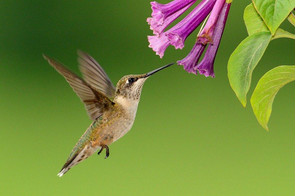 Image: Hummingbird