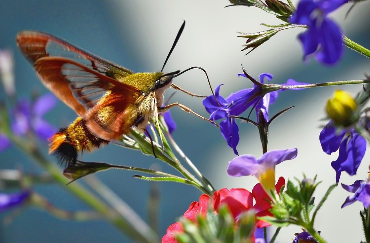 Image: Hummingbird Moth