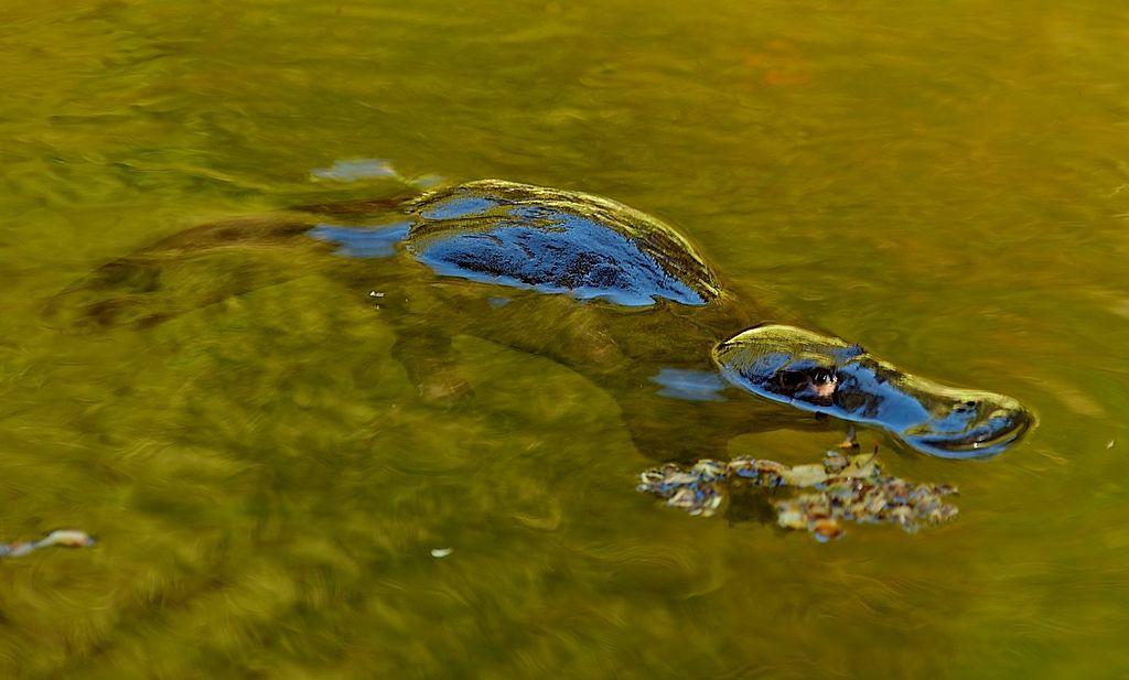 Image: Platypus swimming