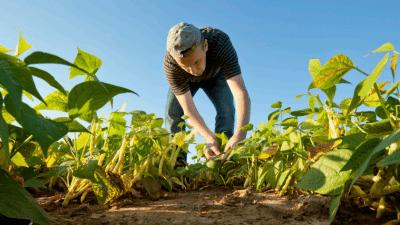 Image: Farmer bending over in the beans against a blue sky