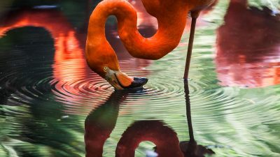 Image: Flamingo touching its head to the water with a reflection