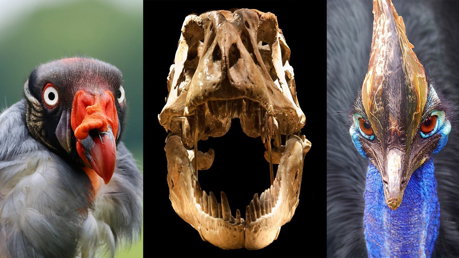 Image: Birds and Dinosaurs from left to right a King Vulture, a T-Rex skull, and a Cassowary with systems of the body similar to those of the dinosaurs before