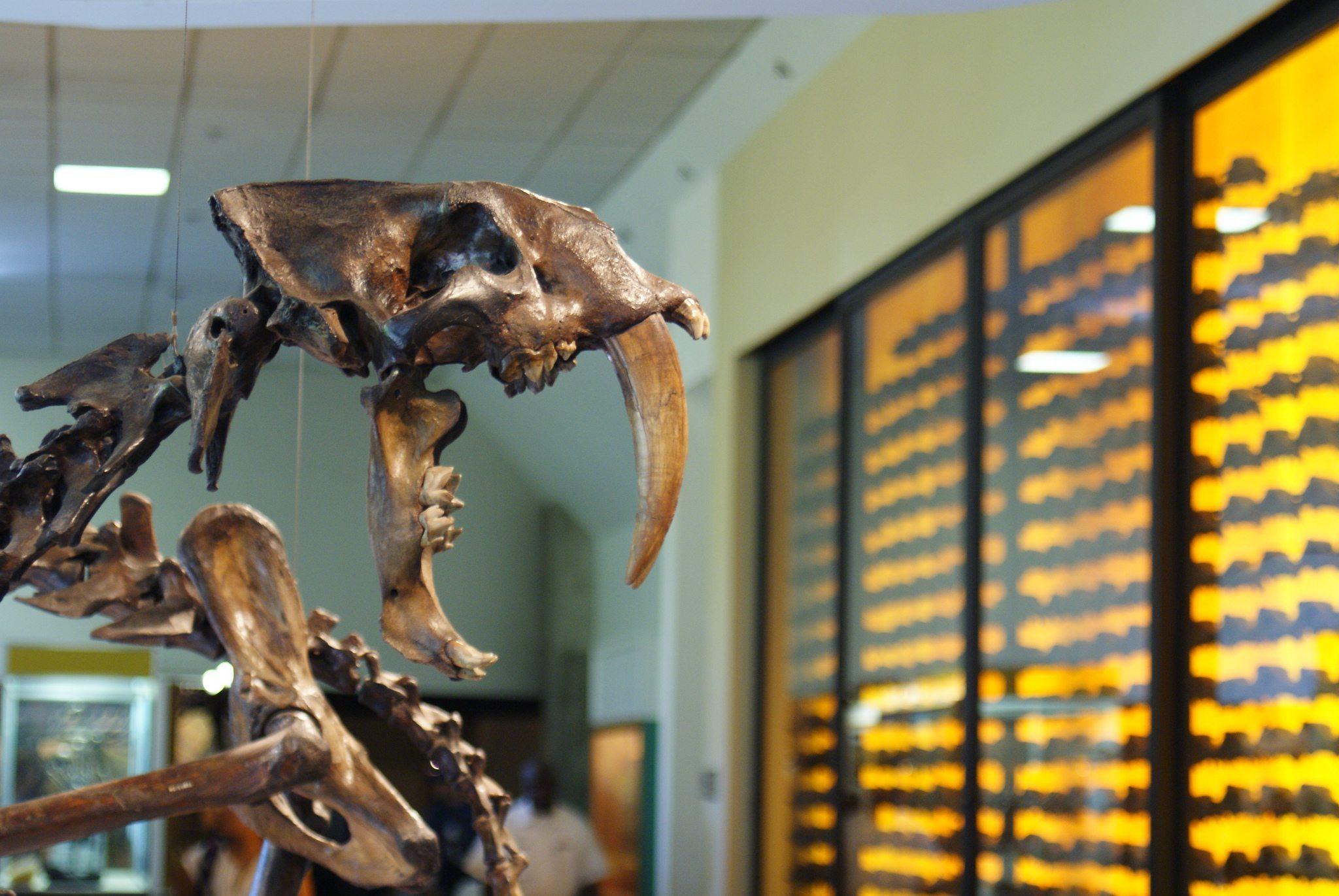 Image: Smilodon skull from the La Brea Tar Pits