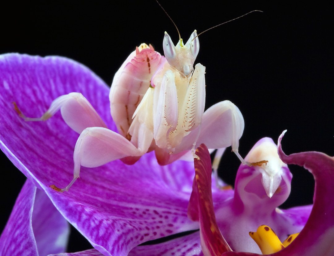 Image: Orchid Mantis sitting on a pink orchid