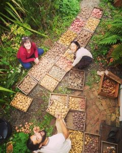 Image: Sorting 37 Varieties of Potatoes from the Forest