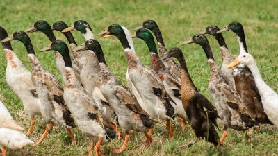 Image: Group of Indian Runner Ducks