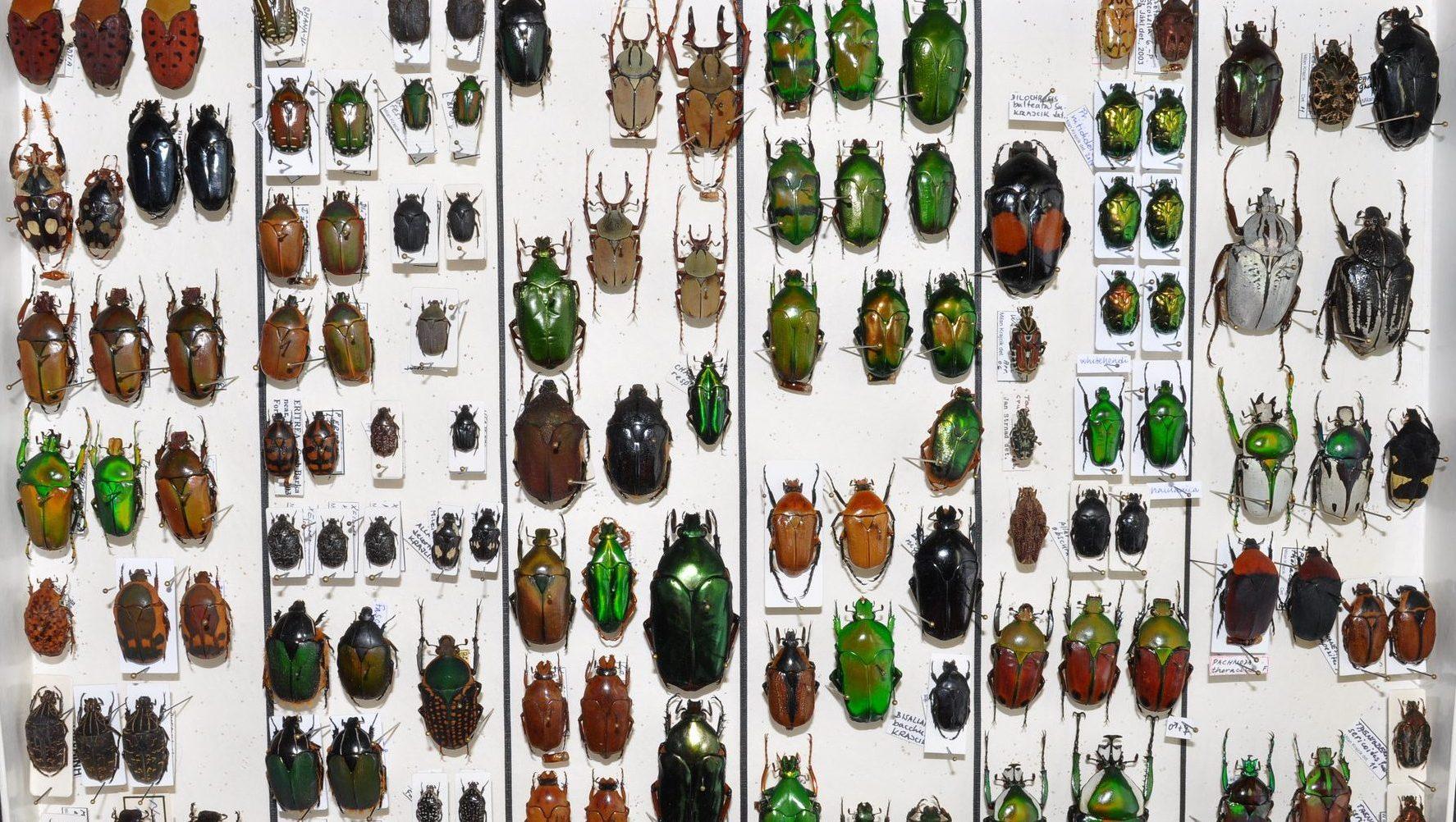 Image: Pinned beetle specimines