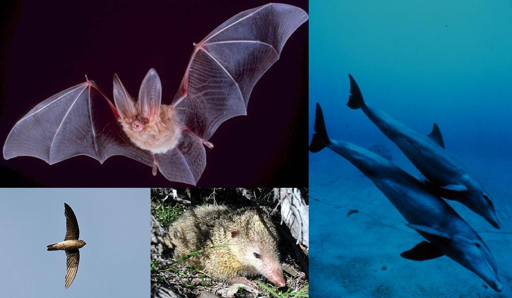 Image: A collage of animal pictures including a bat, dolphin, hawk and tanrek that all use echolocation to better navigate the world, just as Daniel Kish, does.