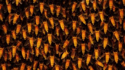 Image: Dozens of Himalayan Honey Bees also known as Apis Dorsata; the largest honey bees in the world that produce hallucinogenic honey collected by honey hunters.