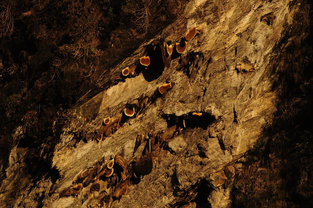 Image: Large Himalayan Honey Bee Hives jutting out from the cliffs of Nepal