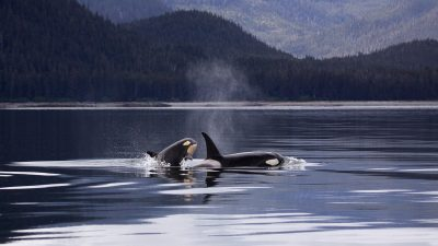 Image: Two killer whales in Puget Sound