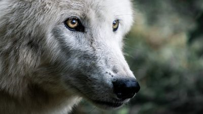 Image: close up of a wolfs face