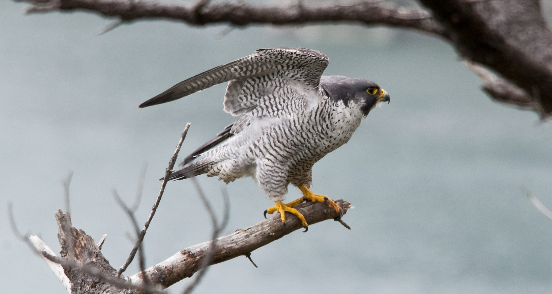 Image: Peregrine Falcon on a branch with wings stretched upwards