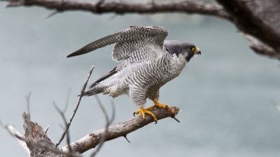 Image: Peregrine Falcon, the world's fastest animal, on a branch with wings stretched upwards