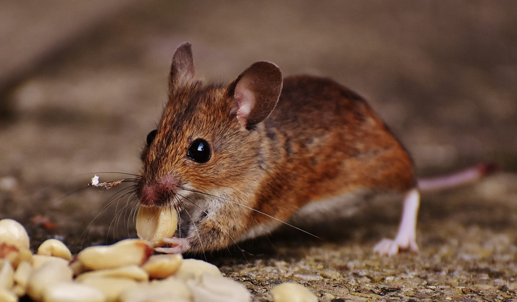 Image: A rather cute rat eating a peanut