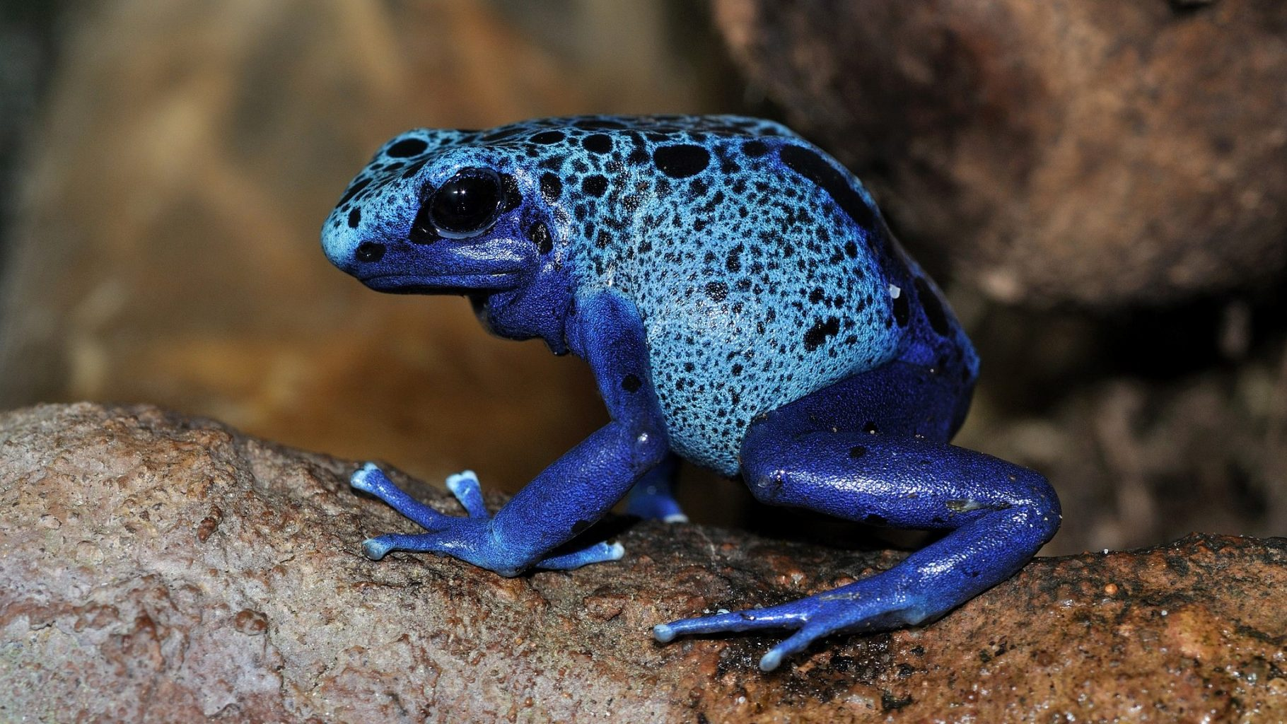 Image: One of the nost famous poisonous animals: the blue poison dart frog