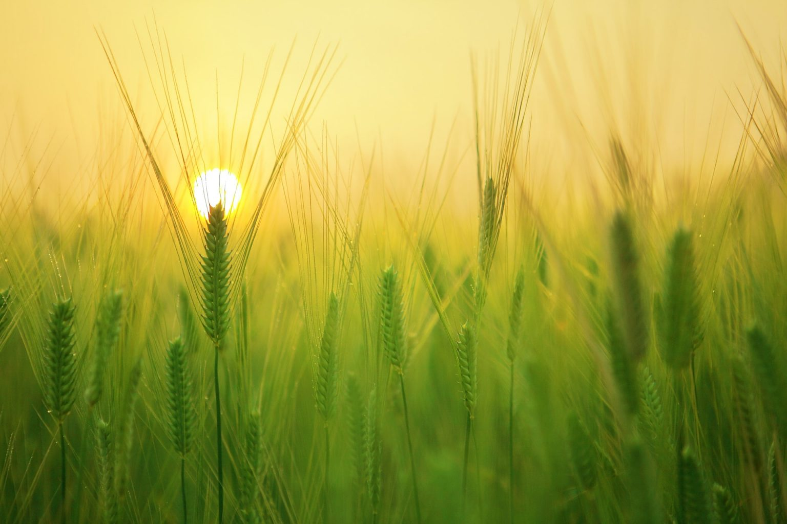 Image: Green wheat, with the sun rising behind it