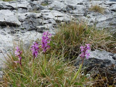 Image: Early Purple Orchid blooming on the Burren