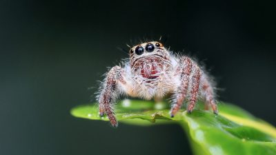 Image: close up of an adorable jumping spider sitting on a leaf
