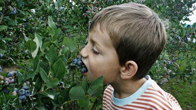 Image: child eating blueberries