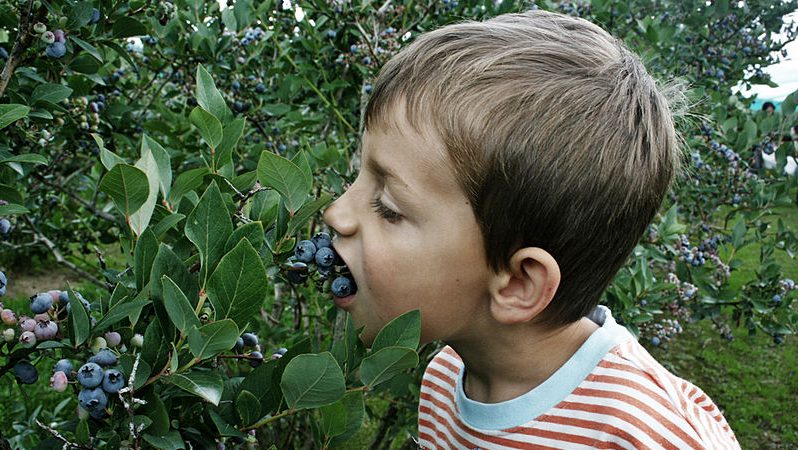 Image: child eating blueberries off of the plant