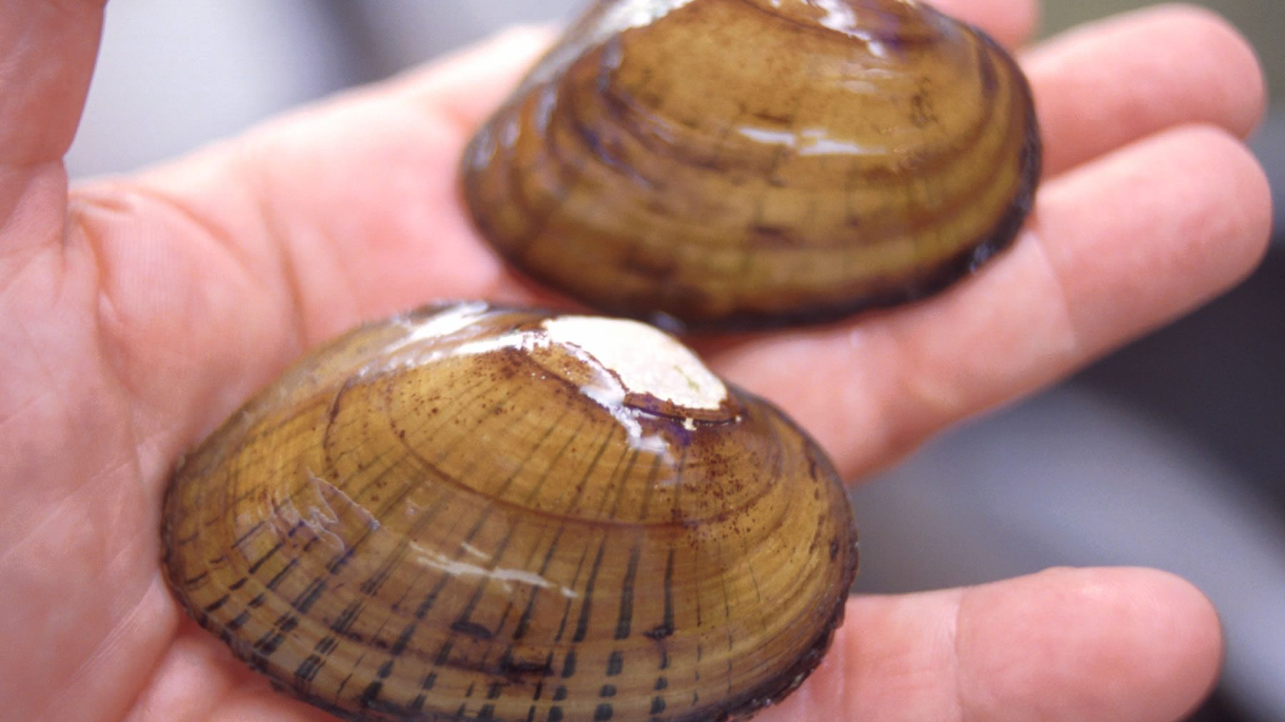 Evolution has come up with some clever tricks when it comes to mussel reproduction.