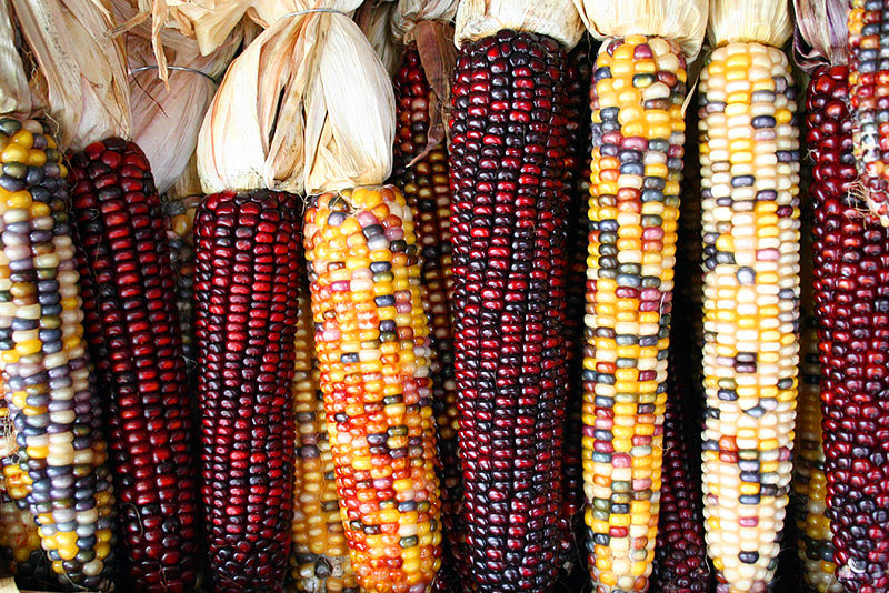 Image: Colorful varieties of heirloom corn laid out next to each other. When prepared correction, the corn nutrition can really come through!