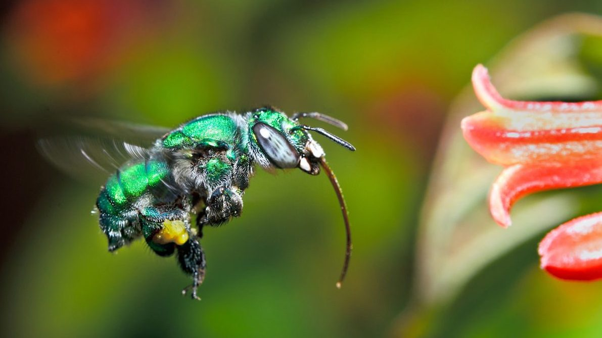 Image: Orchid Bee (male) approaches flower