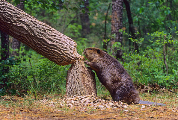 Image: Beaver on land standing next to their freshly chewed down tree