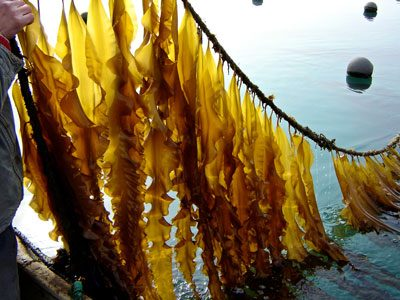 Kelp ribbons being harvested.