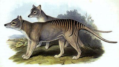 Image: Illustration of a Thylacine, Tasmanian Tiger